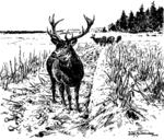 Hirsch mit Kahlwild am Wildacker