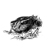Schnepfe